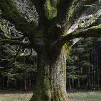 Chêne. La Broque